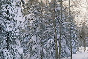 Aspen tree, Spruce tree, Winter, Denali National Park, Alaska