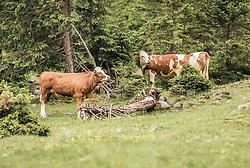 THEMENBILD - Kühe stehen auf einer Almwiese zwischen Nadelbäumen, aufgenommen am 23. Juni 2019, am Hintersee in Mittersill, Österreich // Cows stand on an alpine meadow between conifers on 2019/06/23, Hintersee in Mittersill, Austria. EXPA Pictures © 2019, PhotoCredit: EXPA/ Stefanie Oberhauser