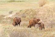 European Bison (Bison bonasus) herd walking and grazing in dune landscape of Kraansvlak