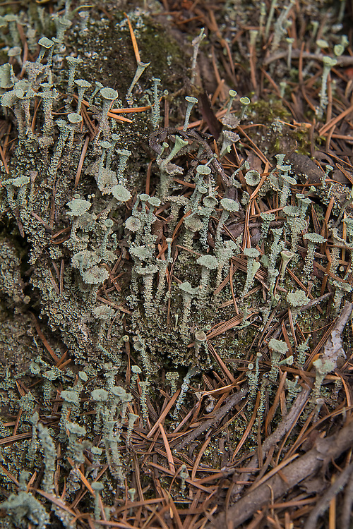 This unusual trumpet-shaped club lichen is found throughout the world in cooler climates in both the northern and southern hemispheres and is usually growing from either moist forest soils or from wood. This colony was found growing among tree roots on Little Mount Si in North Bend, Washington on a chilly autumn late afternoon.