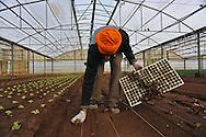 Nettuno (Roma), 04/01/2011: Azienda agricola che utilizza bracciantato indiano di religione Sikh originario del Punjab - Farm using Indian Sikh laborers native of Punjab. ©Andrea Sabbadini