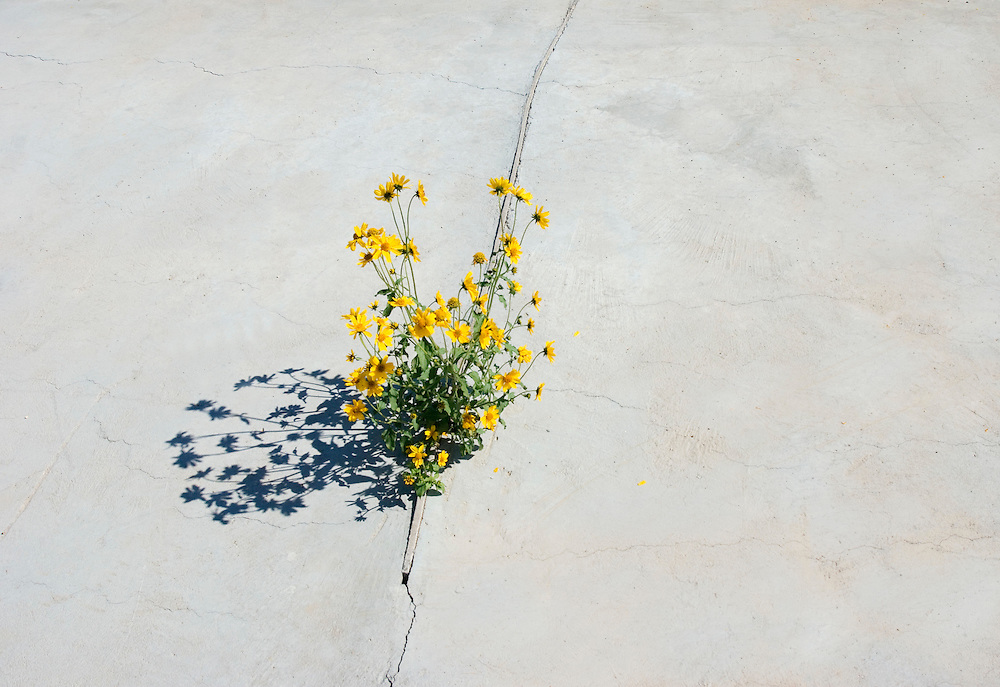 Daisies grow through crack in concrete slab<br />