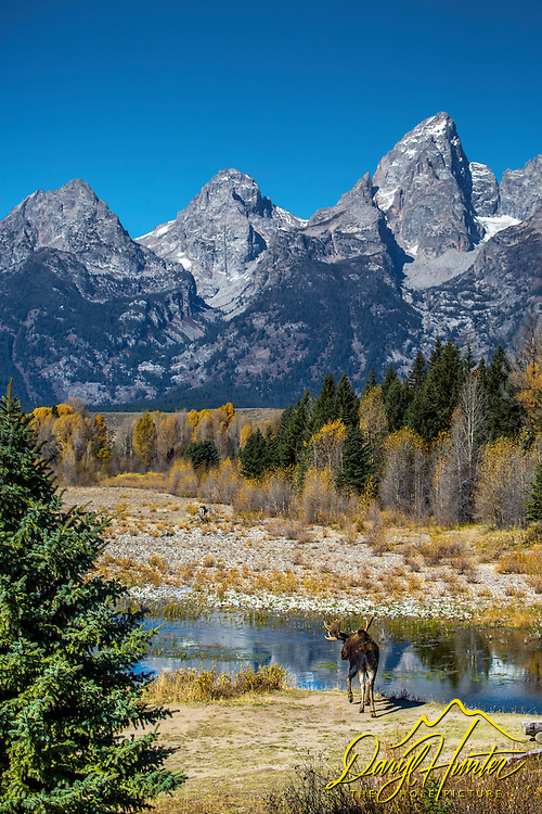 Bull moose, Shwabacker Landing, Snake River, Grand Tetons, Grand Teton National Park
