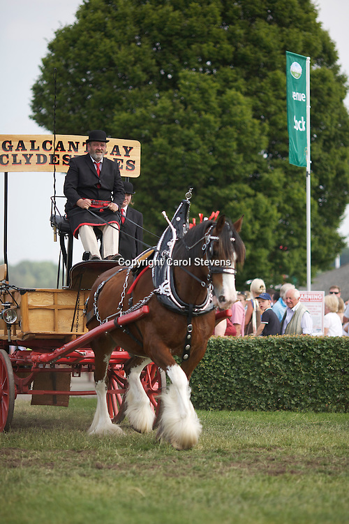 D Walker, Galcantray Clydesdales<br /> Driving Wullie, bay gelding Clydesdale