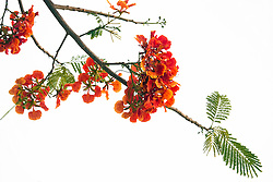 Royal Poinciana Tree Delonix Regia #21