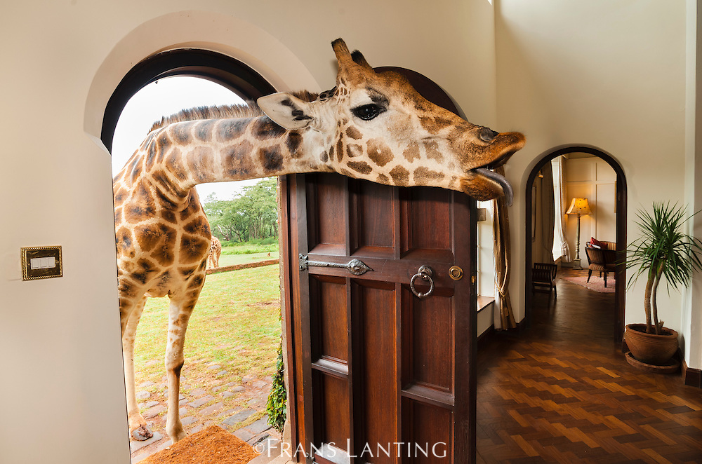 Rothschild's giraffe sticking head through front door, Giraffa camelopardalis rothschildi, Giraffe Manor, Nairobi, Kenya