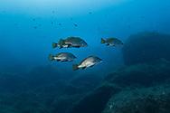Brown meagre fish-Corb commun (Sciaena umbra) of Méditerranée sea.