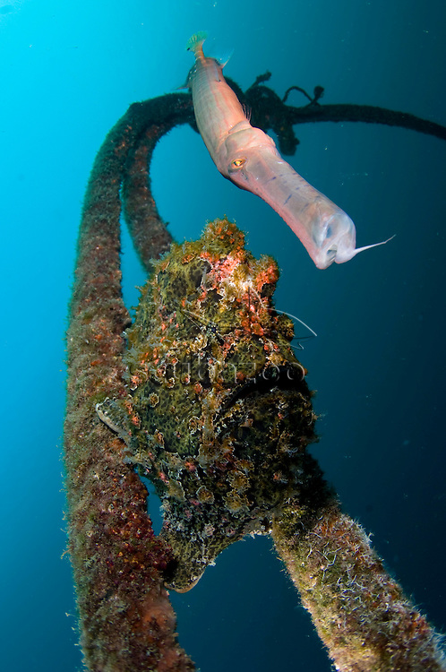 Giant Frogfish, Antennarius commersoni, on old mooring rope with trumpetfish, KBR, Lembeh Strait, Sulawesi, Indonesia.