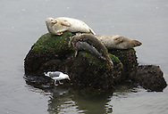 Harbor seals  get a visit from a seagull in Monterey, California, on Sunday, January 11, 2010. (© 2010, Cindi Christie)