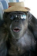 EXCLUSIVE 24th June 2008, Palm Springs, California. 76-year-old Cheeta, star of many Hollywood Tarzan films of the 1930s and 1940s, is coming out of retirement. Recognized as the oldest chimpanzee alive, the Palm Springs resident has just signed a record deal. To celebrate the signing, Cheeta made a promo music video to accompany his cover of the 1975 hit song 'Convoy'. PHOTO &copy; JOHN CHAPPLE / www.johnchapple.com <br /> tel: +1-310-570-9100