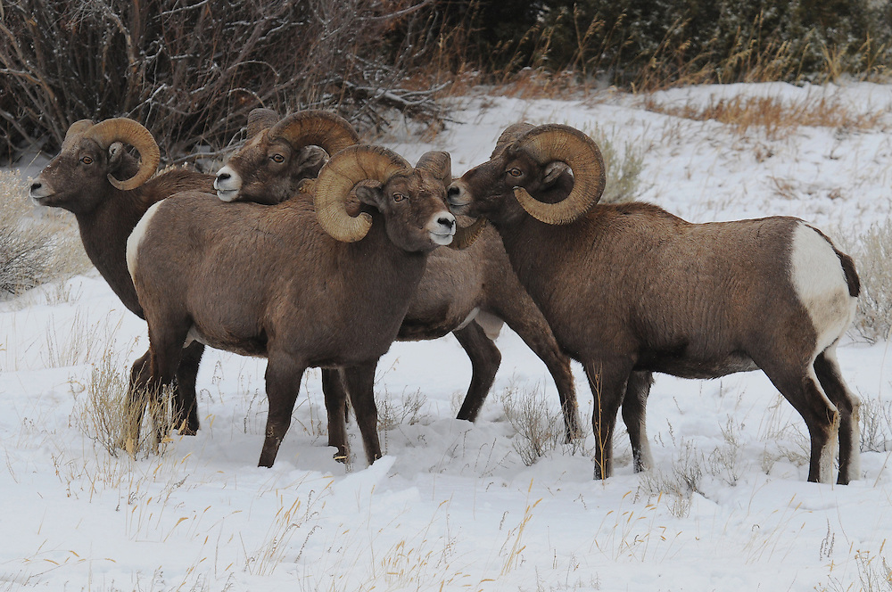There is much pushing and shoving among bighorn rams as they attempt to establish dominance during the rut. Once the heirarchy is established, the dominant ram breeds with the majority of ewes in the herd.