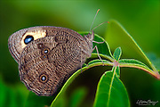 Wood-nymph butterfly (Cercyonis pegala)