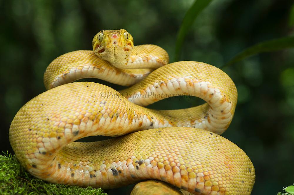 Amazon Tree Boa (Corallus hortulanus)<br /> Amazon<br /> ECUADOR<br /> Vivarium ID # 3271<br /> Captive<br /> Yellow morph