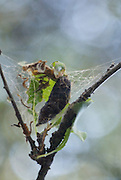 Chrysalis of the Gypsy Moth on a fruit tree in Kyrgyzstan, their infestation is one of the chief concerns of scientists looking to preserve the last remaining wild fruit and nut forests in Central Asia.