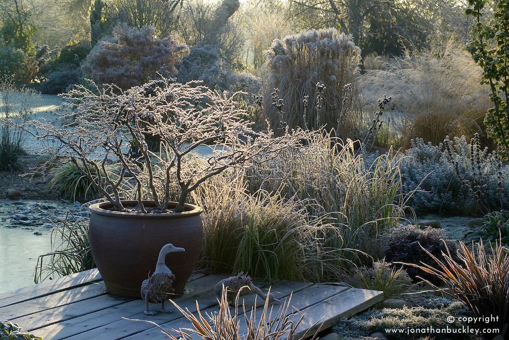 Container of Prunus incisa 'Kojo-no-mai' on a frosty winter's morning. Ornamental wooden ducks on the deck. Design: John Massey, Ashwood Nurseries