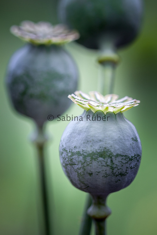 Papaver somniferum - opium poppy - seed head