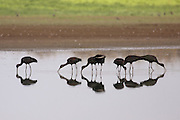 Northern bald ibis (Geronticus eremita) foraging for food in a water pool. Photographed in Israel, in August