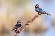 Pair of Barn Swallow - Hirundo rustica sitting on a seed head