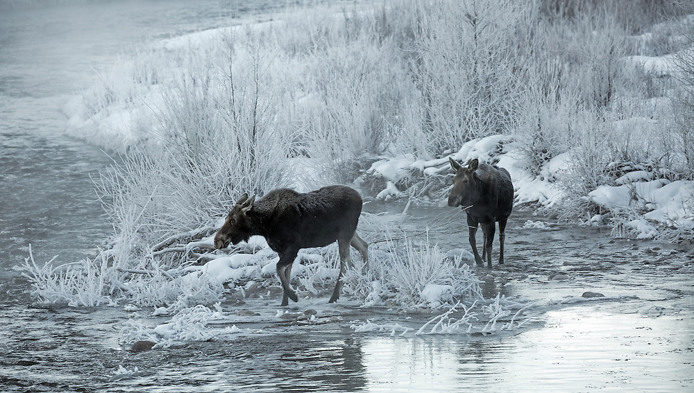 After a clear, cold winter night a coating of hoarfrost is often seen on trees and grass in the early morning hours. On this frigid morning water vapor rising from Gros Ventre River froze not only on the willows and trees, but also on the two cow moose making their way through the chilly landscape.