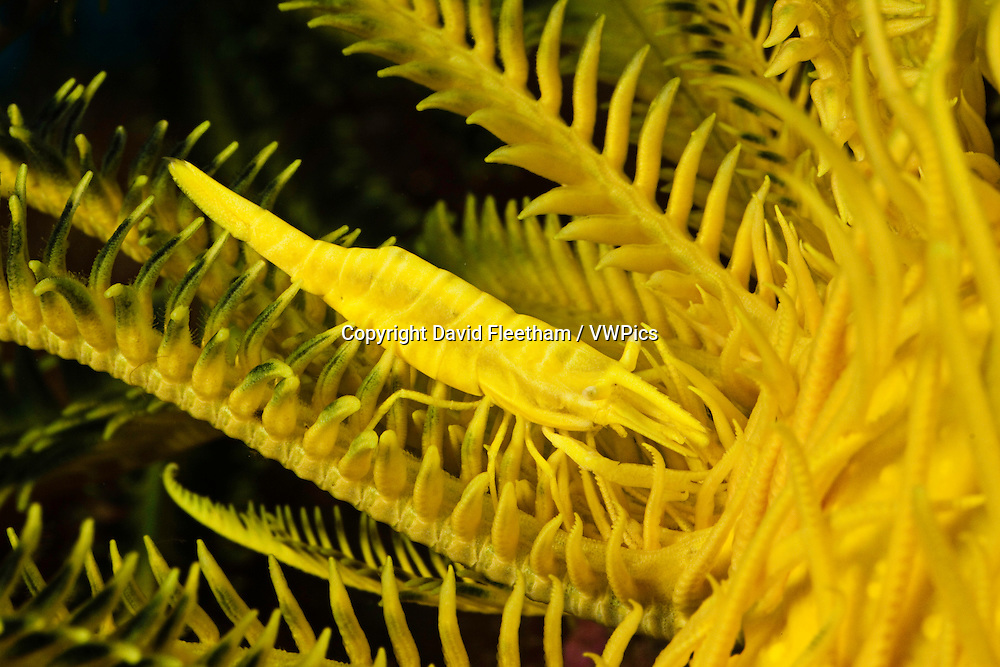 A yellow commensal shrimp, Periclimenes amboinensis, on a matching crinoid, Comanthus bennetti, Philippines.