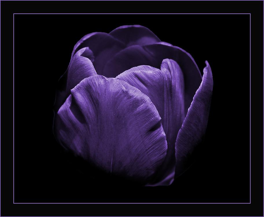 A beautiful purple tulip near the lily pond.