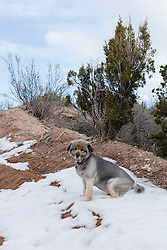 German Shepherd sitting in snow
