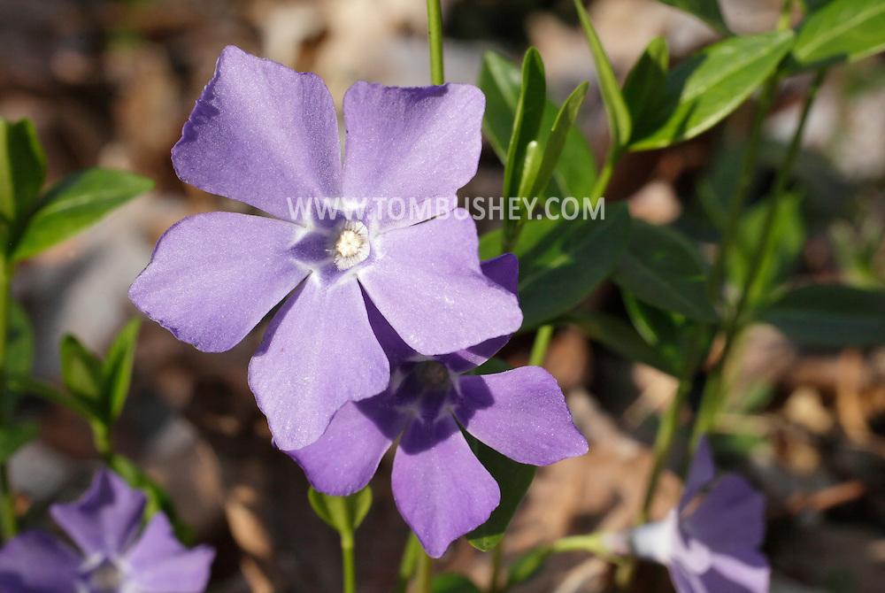 Salisbury Mills, New York - A bigleaf periwinkle (Vinca major) flower in the woods by Moodna Creek on April 21, 2011.