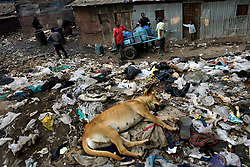 A dog sits on top of a trash heap in Mathare, one of the poorest slums in Nairobi.  Running water and electricity are scarce and trash and human waste fills the streets.  Many people have no jobs and those who do work can earn less than one dollar a day.