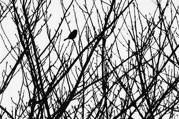 Nederland, Wijchen, 20-2-1974Een mus zit in een boom.Foto: Flip Franssen/Hollandse Hoogte