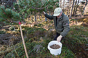 Desmond Dugan of RSPB collecting pine cones for seed for native tree planting at Abernethy Forest, Cairngorms National Park,  Scotland.