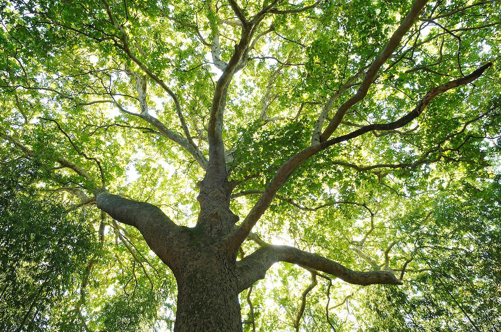 France, Languedoc Roussillon, Gard, Cevennes, Anduze, Prafrance, La Bambouseraie, arbre, Platanus orientalis