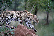 Ingwelala game reserve. Kruger National Park. South Africa. Pictures by Zute and Demelza Lightfoot. Male Leopard,