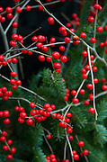 A Christmas arrangement pairs sprays of red winterberries with spruce branches.