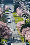 United States, Washington, Seattle,   Cherry trees on Dravus St in the springtime