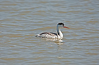 A Clark's grebe their black head color does not go below their eyes.