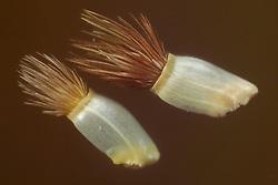 cornflower (Centaurea cyanus) - Kornblume