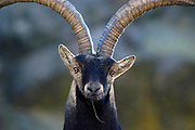Spanish Ibex (Capra pyrenaica victoriae).<br /> Big old male looking at camera while grazzing.<br /> Gredos Mountains range. Avila province, Spain.