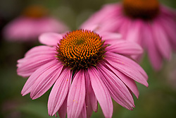 Trio of purple coneflowers - echinacea purpura - landscape