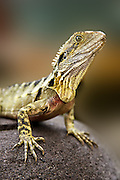 Eastern Water Dragon (Physignathus lesueurii) - Queensland