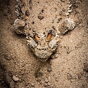 The lines and shapes of a pair of horned lizards on the Hoffman Ranch in Alice Texas.