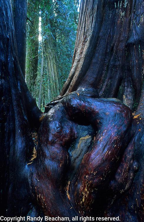 Western red cedar grove. Ross Creek Cedars in the Cabinet Mountains, Montana