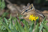 The least chipmunk is one of the most commonly seen chipmunks in the Greater Yellowstone Ecosystem. This little rodent enjoys dining on  berries and seeds, including the readily available seeds of the common dandelion.