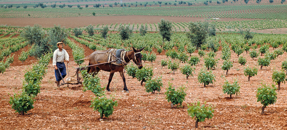 A farmer and his mule plow a vineyard in Andalusia, Spain.