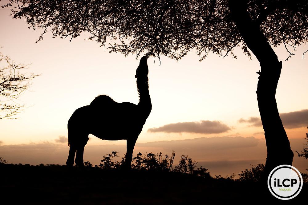 Dromedary (Camelus dromedarius) camel browsing, reducing food for native herbivores, Hawf Protected Area, Yemen