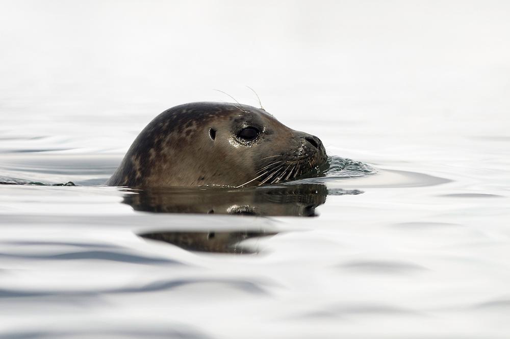 11.06.2008.Common seal (Phoca vitulina).Jökulsárlón glacial lagoon. Iceland