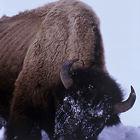 American Bison foraging for food in the snow in the Lamar Valley Yellowstone National Park Wyoming.