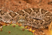 A Western Diamondback Rattlesnake, (Crotalus atrox), peers from behind a prickly pear cactus in Ironwood Forest in the Sonoran Desert, Eloy, Arizona, USA.