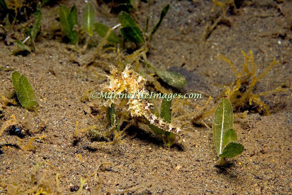 Lined Seahorse inhabit areas of sand and rubble attaching to gorgonians, seagrass and other holdfasts in Tropical West Atlantic; picture taken St. Vincent.