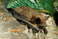 Serotine Eptesicus serotinus Wingspan 33-38cm Large bat, often associated with human habitation. Adult has sleek fur, dark brown above and yellowish brown below. Nose and face are dark; dark ears are oval with 5 transverse folds and tragus is sickle-shaped. Wings are long, broad and dark. Utters shrill squeaks at roost sites. Echolocates in 25-30khz range. Widespread in S, favouring open woodland, parks and mature gardens. Leaves roosts shortly after sunset; wingbeats are slow and fluttering. Roosts in tree holes and buildings in summer, hibernates in buildings and barns.