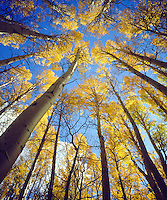 I positioned my large format view camera to shoot straight up with a wide angle lens to get a photo of fall colors of an aspen forest in the Sierra Nevada Mountains.